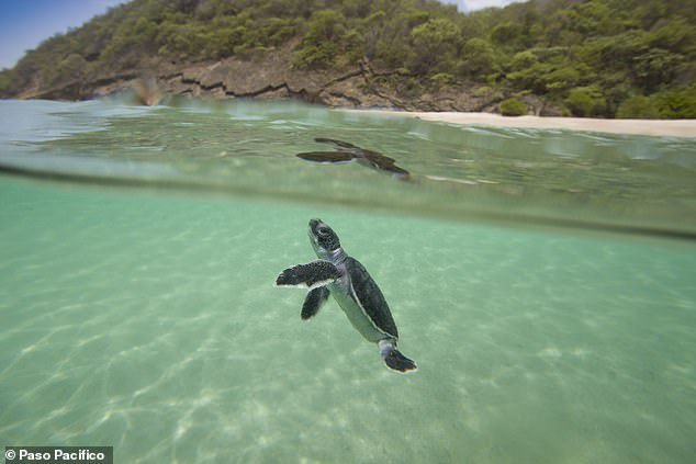 Green Sea Turtle hatchling at Playa Brasilon, near Ostional, Nicaragua.The trade of sea turtle eggs is banned under the international Convention on International Trade in Endangered Species of Wild Fauna and Fauna agreement