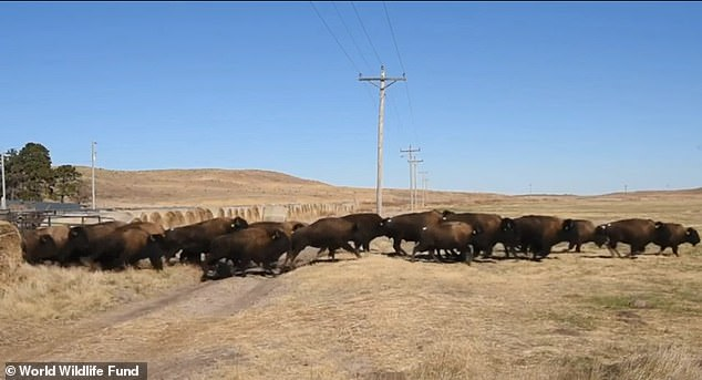 Approximately 100 bison have returned to their native plains in what is now the Wolakota Buffalo Range in South Dakota¿s Rosebud Indian Reservation