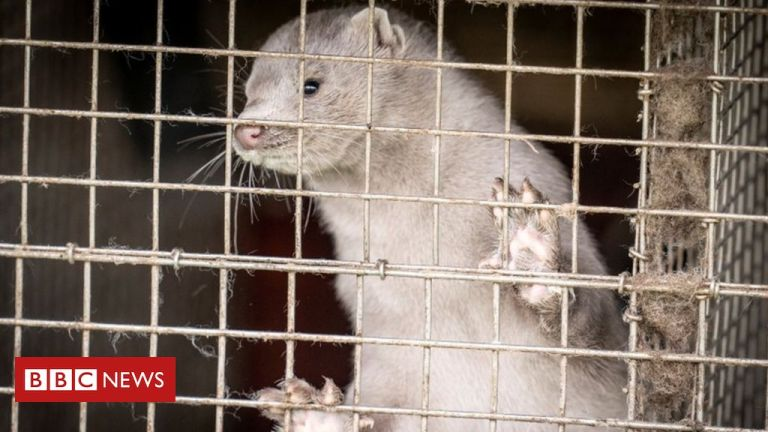 Denmark to cull up to 17 million mink amid coronavirus fears