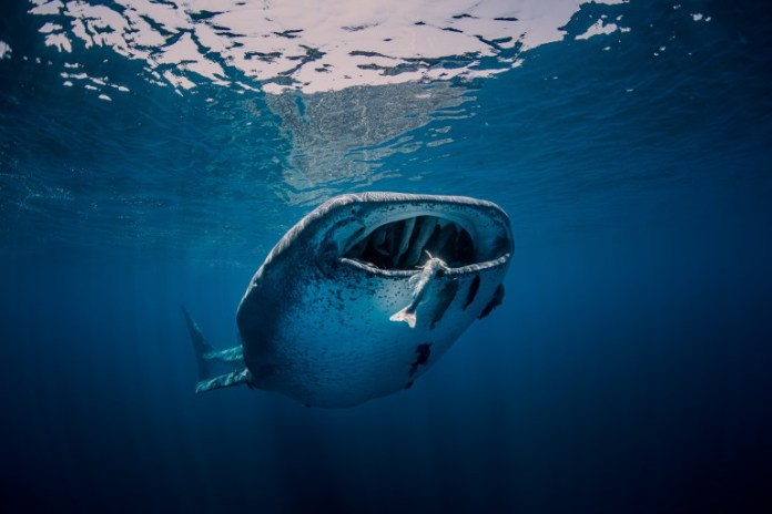 Evans got close to an enormous whale shark this June while diving off the coast of Baja California, Mexico (Picture: Evans Baudin)