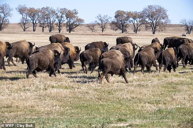 The Wolakota Buffalo Range is the latest effort to return the animals to the wild, which has been five years in the making, and will see 1,500 bison released back to their native land