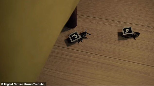Called 'Calmbots,' the cockroaches were installed with electrodes, a chip antenna, battery and a pixel strapped to its back that can be used as a display