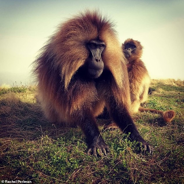 Researchers from the US said that the practice among the Ethiopian, grass-eating relations of the baboon helps prevent inbreeding between offspring and fathers