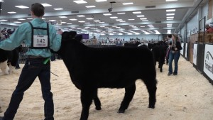 Youth Beef Show 10