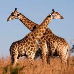Wie heeft trek? Het dijbeen van de giraffe stond op de Pompeïsche menukaart. Bron: Wikimedia Commons/Luca Galuzzi