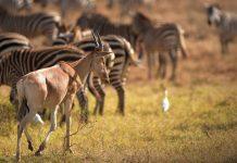 "An antelope walks at Kenya's Nairobi National Park in Nairobi, Kenya, March 21, 2015. Kenya's ""long rains"" season which usually begins in March is unpunctual this year, making both the people and wild animals of this country longing for the coming rains. (Xinhua/Yang Yang)"