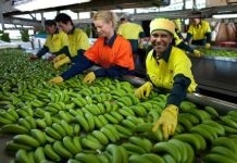 Photo shows the Dole bananas imported from the Philippines. (File photo)