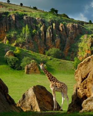 Giraffe at Cabárceno.