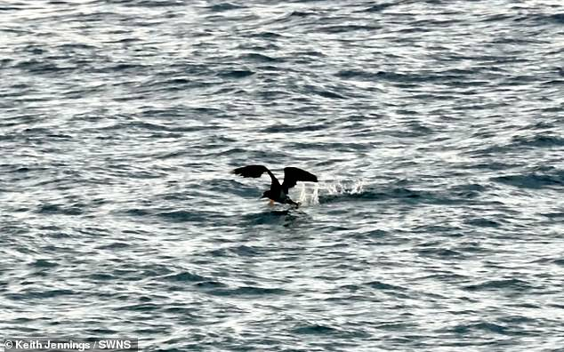 The rare bird, a white seabird with bright yellow feet, has been spotted on The Island, near St Ives, Cornwall, by Keith Jennings. Mr Jennings took the pictures (pictured) at 7.34am on Tuesday, August 27, before he lost sight of the bird when it flew south