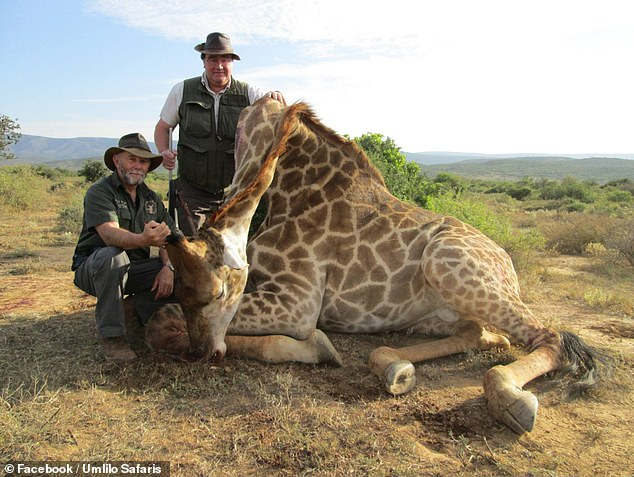 A ban on the 'repugnant' hobby of rich people who enjoy hunting exotic animals would be bad for conservation, a group of scientists has claimed. Pictured, a baby giraffe that was killed by trophy hunter Charlie Reynolds, right, on a trip run byUmlilo Safaris of South Africa