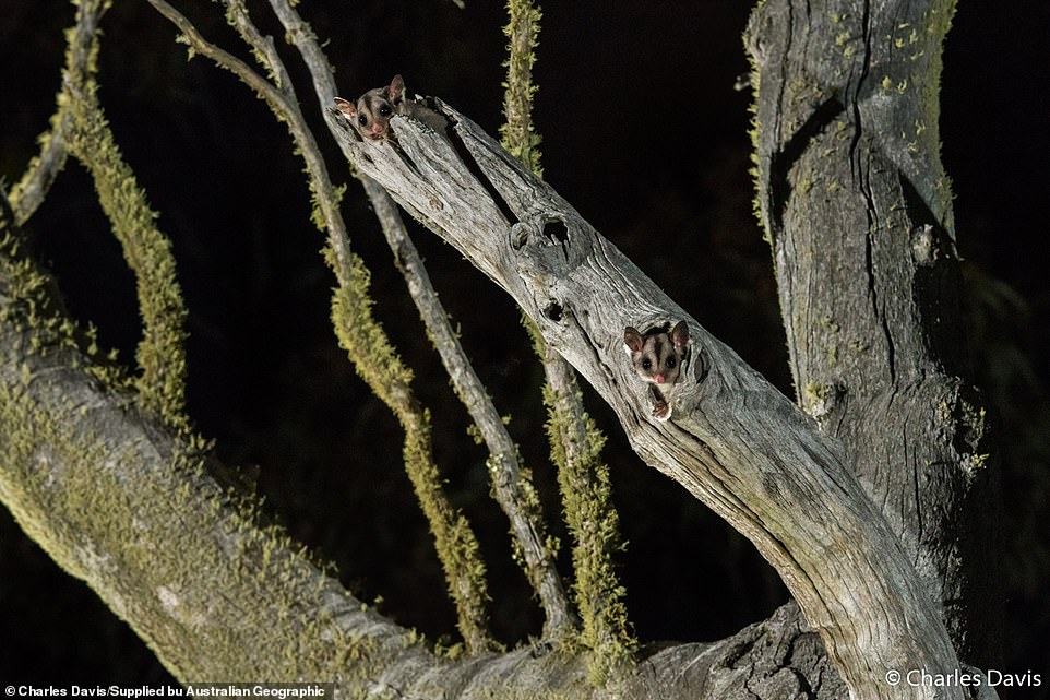 Charles Davis, of New South Wales, spotted thisSugar glider (Petaurus breviceps) in a gum tree in Cooma. Each night they would emerge at 8.28pm, poking their little heads out for five minutes to make sure it was safe before leaving to feed.