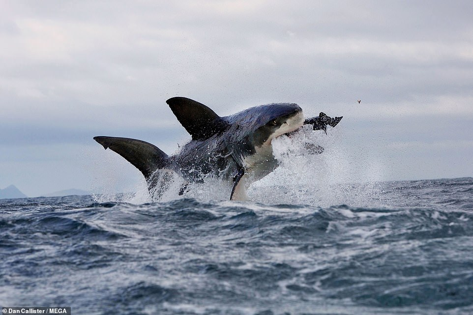 Between 2010 and 2016 shark spotters recorded an average of 205 great white sightings a year in 600 square mile section of the Atlantic Ocean
