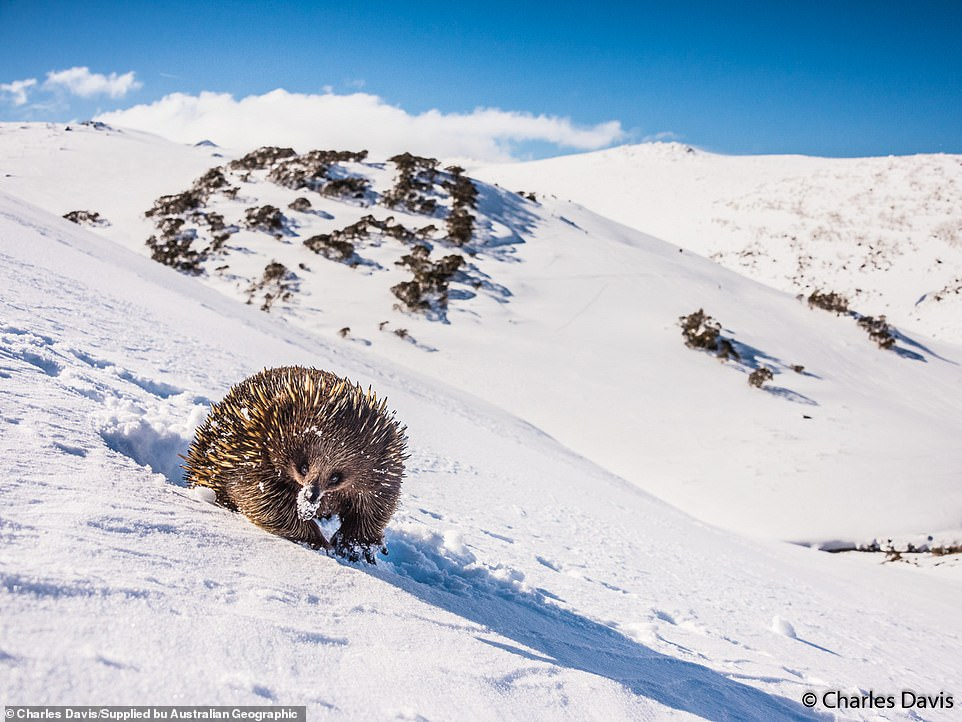 Short-beaked echidna: Once again, this image was taken by Charles Davis - this time at the Australian Main Range, New South Wales. 'I followed this echidna for two days, its little tracks in the fresh snow leading me for kilometres to every dead tree and tuft of grass on the snow-covered range,' he said. 'When I finally tracked it down it was over 2000 metres above sea level and not bothered in the slightest about being surrounded by snow and ice.'