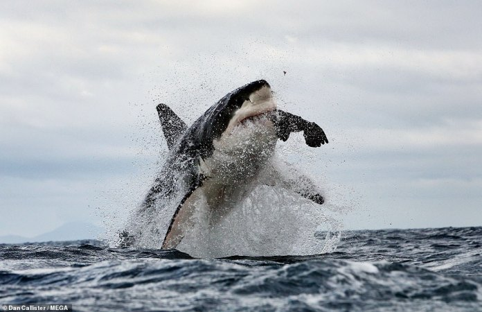 The desertion of the area comes after five great white sharks were washed up along the South African coastline in 2017 with gaping wounds on their side with their livers having been bitten out by two killer whales in the area