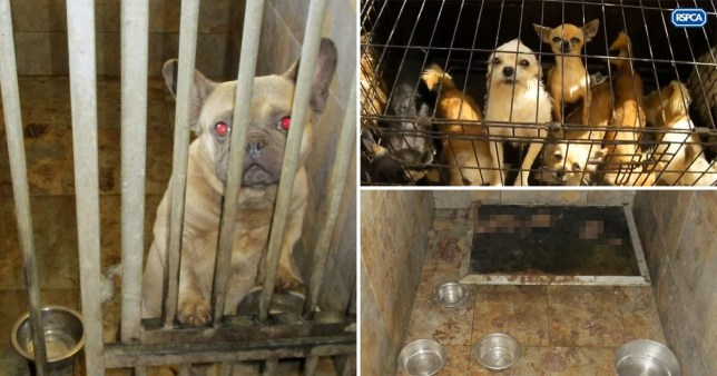 Compilation of puppy farm raided by RSPCA near Chesterfield, Derbyshire