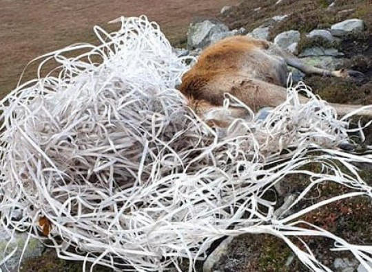 Shocking images show a dead stag with his antlers entangled in discarded plastic stripping on the west coast of Jura, Inner Hebrides. November 13 2019. See SWNS story SWSCstag. These shocking pictures show a beautiful stag which died after it was found with its antlers wrapped - in a mass of discarded plastic strapping. The distressed animal was discovered tangled in the plastic waste on a hillside on the west coast of Jura, Inner Hebrides, yesterday (Wed). It is thought the stag had been grazing on seaweed on the idyllic island's shoreline when the plastic banding caught on his antlers. He then walked around a mile onto the hillside, where he has been starving for the last week as the plastic was wrapped around his mouth.