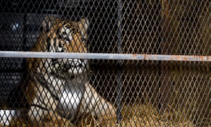 Tiger in the tank: Loki, who was rescued from a cage in a garage in Houston.
