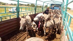 Donkeys being unloaded for slaughter.
