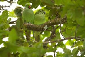 The echo parakeet is now reclassified as 'vulnerable', upgraded from 'critically endangered' more than a decade ago.