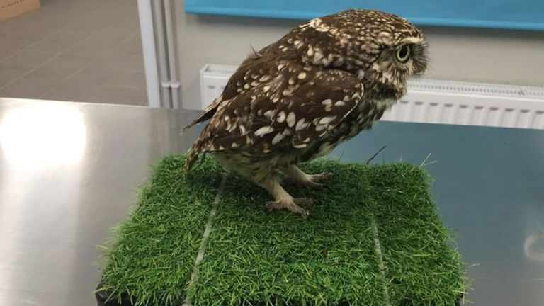 The owl was deemed 'too fat to fly'. Pic: Suffolk Owl Sanctuary