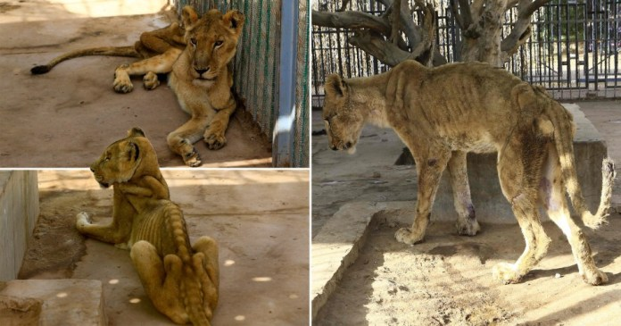 Images of the skeletal lions have gone viral