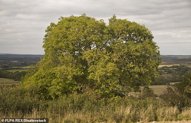 The fungus is a major threat, predicted to kill over half of all ash trees at a cost of £7billion over the next decade