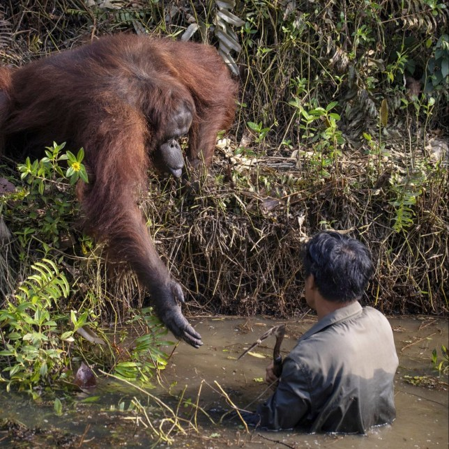 The orangutan holds out his hand to help the man in the water who is clearing snakes as part of a conservation effort to protect the apes in Borneo. See SWNS copy SWCAhand: This is the touching moment an orangutan tries to lend a helping hand to a man searching for the animals' sworn enemies - snakes. The striking image appears to show the great ape reaching out to assist the man, who is stood in a river. The picture was taken in a conservation forest area in Borneo where the endangered species are protected from hunters.