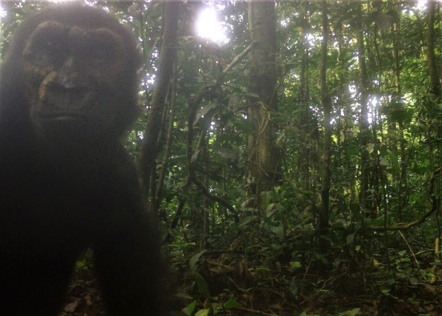 Undated handout photo issued by Bristol Zoological Society of a Wild western lowland gorilla pictured in an area of Equatorial Guinea for the first time in more than a decade. PA Photo. Issue date: Saturday June 8, 2019. The images, caught by camera traps, show curious young gorillas deep in their jungle home in central Rio Muni. They were taken by one of a series of cameras set up by conservationists from Bristol Zoological Society and the University of the West of England. See PA story ANIMALS Gorilla. Photo credit should read: Bristol Zoological Society /PA Wire NOTE TO EDITORS: This handout photo may only be used in for editorial reporting purposes for the contemporaneous illustration of events, things or the people in the image or facts mentioned in the caption. Reuse of the picture may require further permission from the copyright holder.