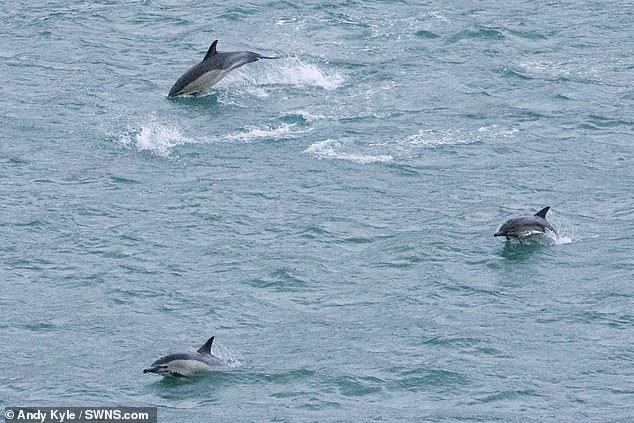 The day after a dolphin was found dead, a large number of the mammals were seen swimming around in the harbour. Mr Kyle said he usually only sees around one at a time