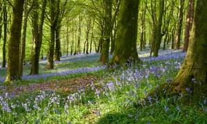 Bluebells at The Wenallt woodland near Cardiff