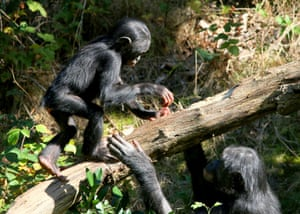 A female Bonobo Chimpanzee teaches a young male to balance. Chimpanzees vary and their culture is variable at every level.