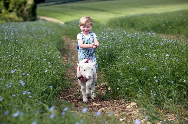 Henry taking lamb Peter Pan for a walk
