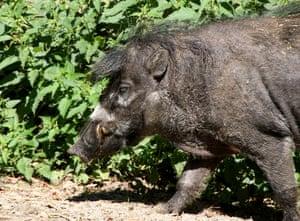 Male Visayan warty pig.