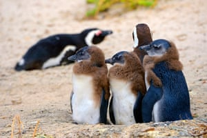 African penguins, also known as black-footed or Jackass penguins, on Boulders beach in Western Cape, South Africa.