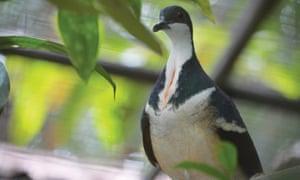 Negros Bleeding Heart Dove at Bristol Zoo Gardens