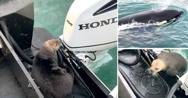 Otter escapes killer whale in Alaska