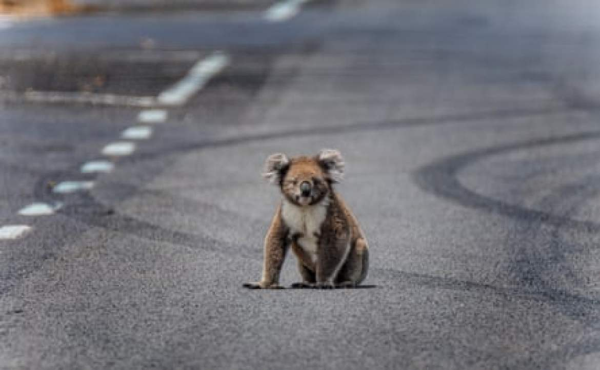 A koala sits in the middle of the road.