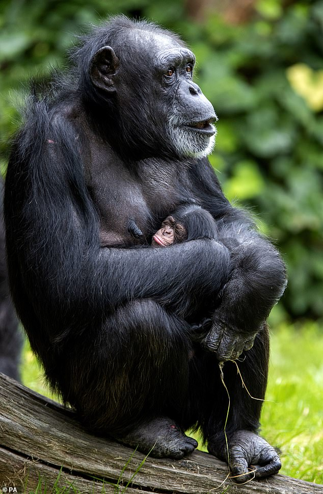 Birth has been described as a 'hugely significant' moment for the western chimp subspecies