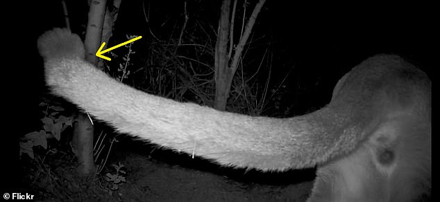 Evidence of a kinked tail seen on another cougar seen on a remote camera in the Santa Monica Mountains. Scientists say the three seen so far could be closely related, even siblings