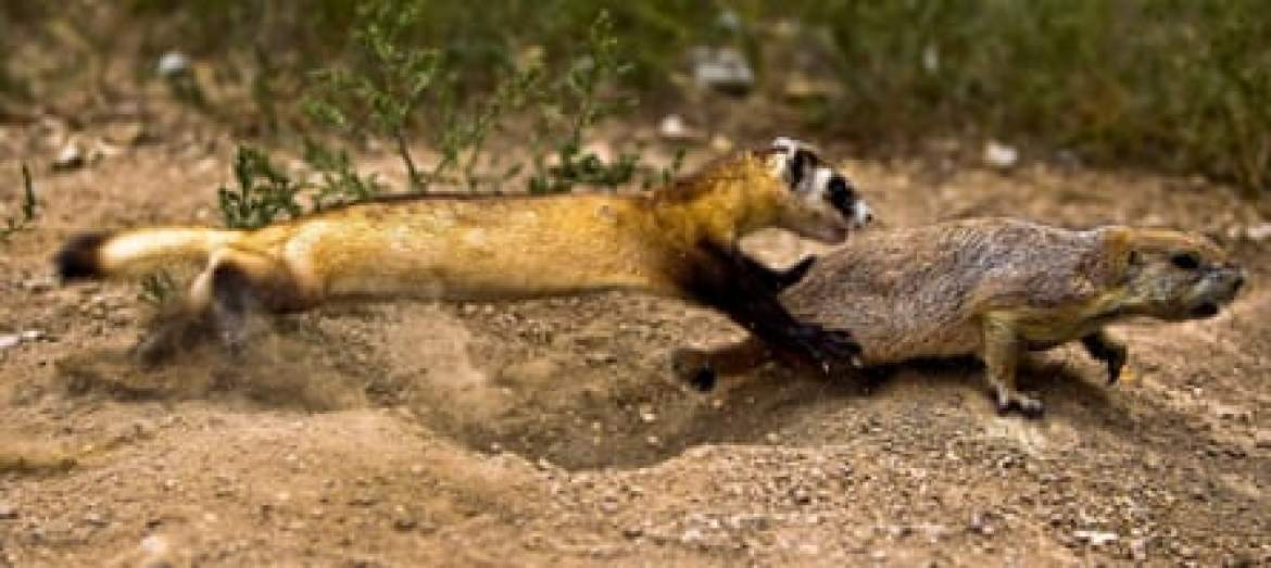 A black-footed ferret learns to hunt before being released