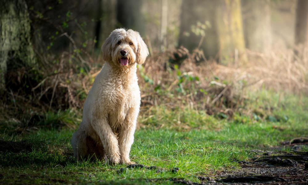 A very photogenic Labradoodle