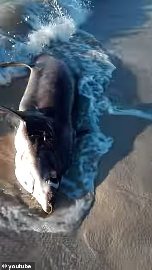 A new study describes a dead female thresher shark that was found on the coast near the town of Brega, which died from penetrating trauma of the swordfish's rostrum