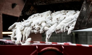Mink carcasses are disposed of in October