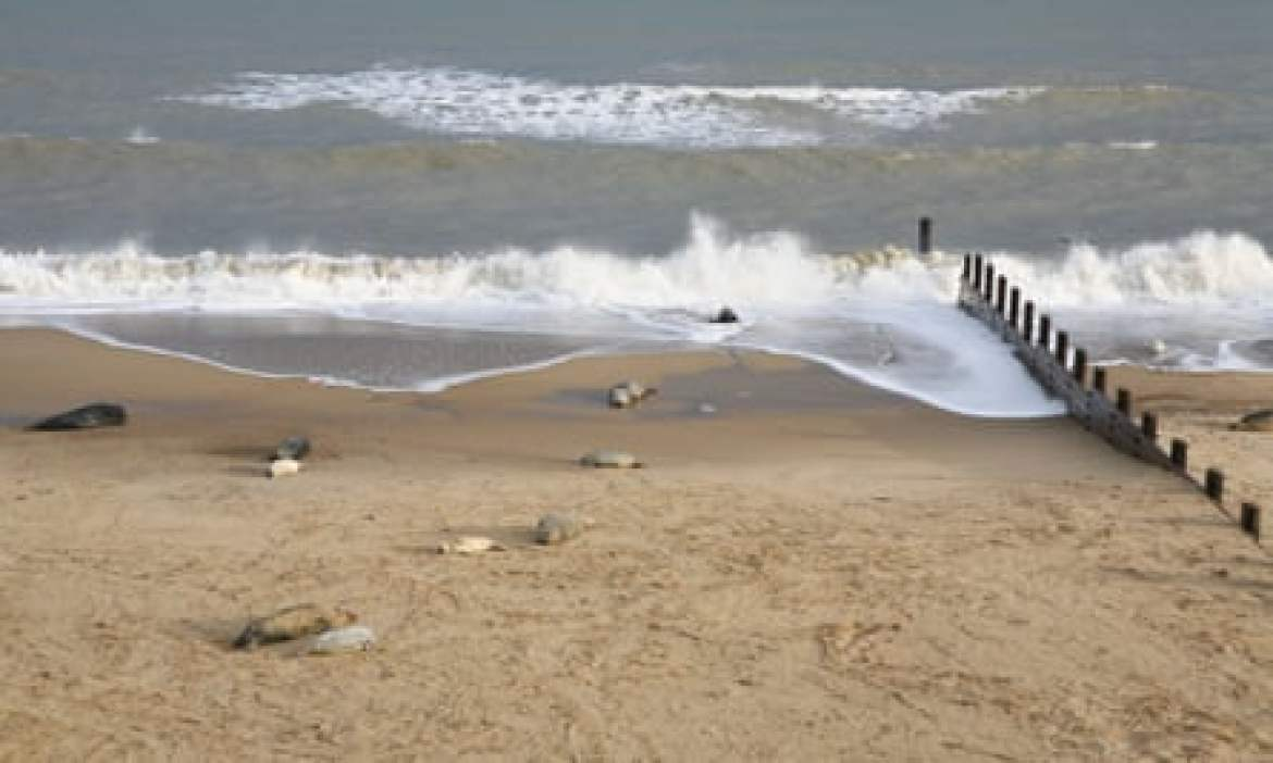 Grey seals and pups on the Norfolk coast