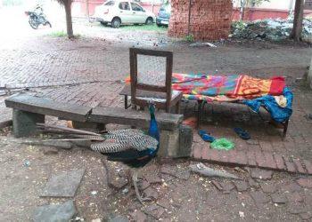 BHU: मालिक की लाश के पास घंटों बैठा रहा मोर, जो हटाने से नहीं हटा