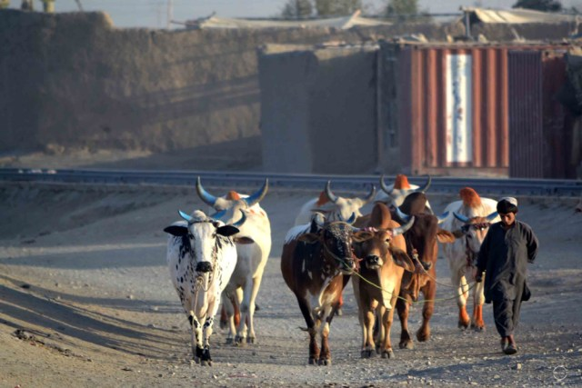 """Cattle traders like Haji Abdul Waris find Chaman, Pakistan, as the """"best market"""" their cattle. He has been coming here for the last 6 years because, he says, he gets """"good price for his animals here then in Afghanistan."""" Photo by Matiullah Achakzai/News Lens Pakistan"""