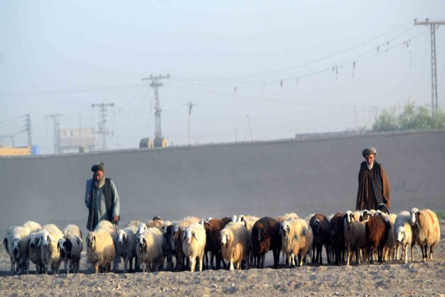 According to Haji Waris, the prices in Chaman are on a higher side than in Afghanistan allowing him a profit of Rs1000 to 2000 on each animal sold in the local cattle market. Photo by Matiullah Achakzai/News Lens Pakistan
