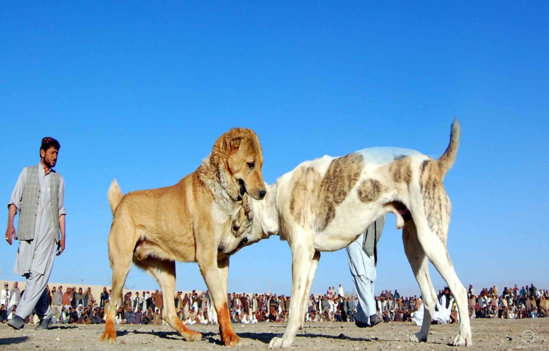 Blood Sport: Dog fights in Chaman | News Lens Pakistan