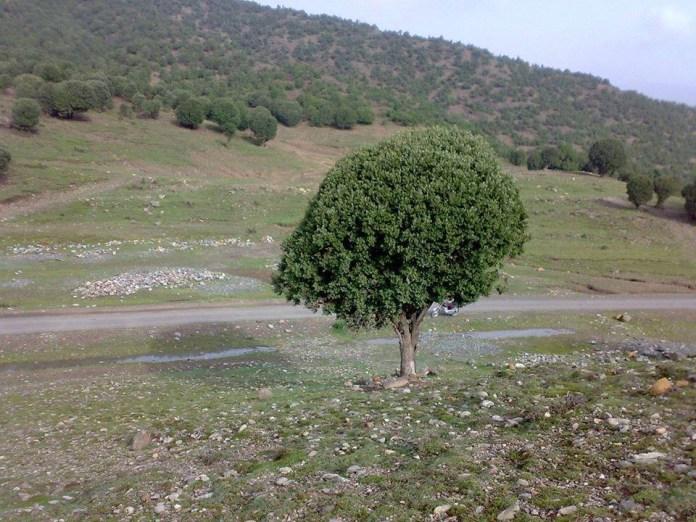 Post exodus Quercus forest in South Waziristan tribal region.
