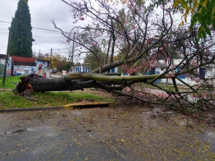 The fallen tree in Glew. (Photo: TN and La Gente).